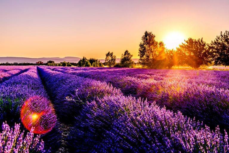lavender-fields-provence-2-1