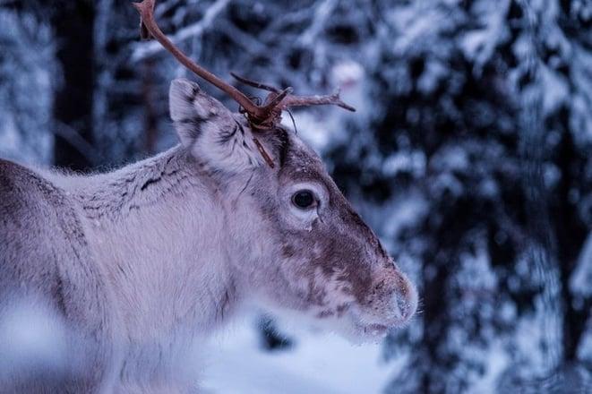 family-ski-holidays-reindeer