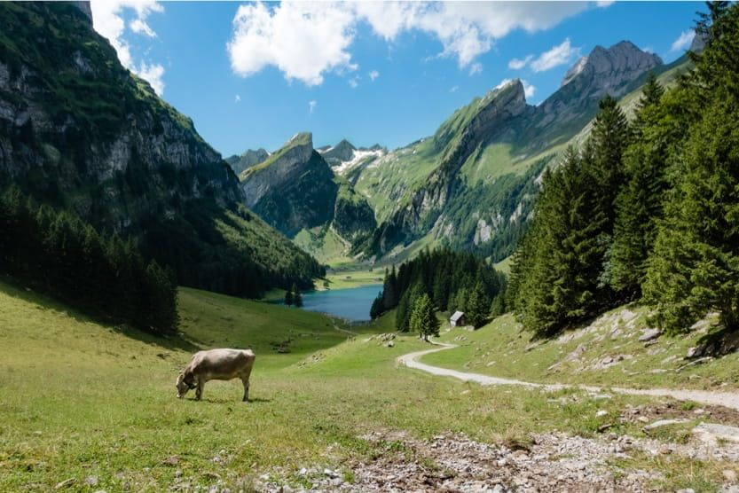 holidays-in-the-alps-cow