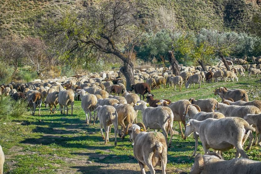 provence-in-winter-sheep