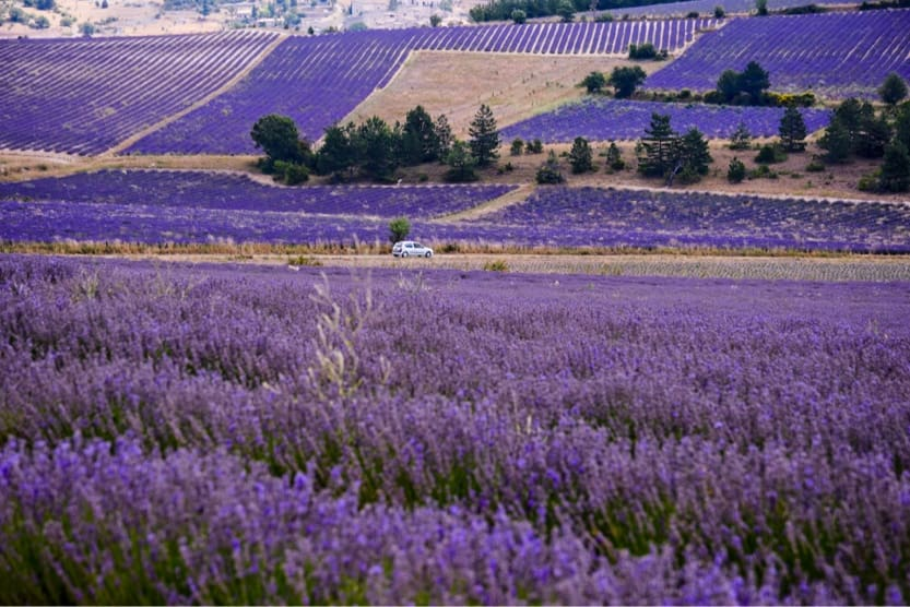 provence-with-kids-lavender