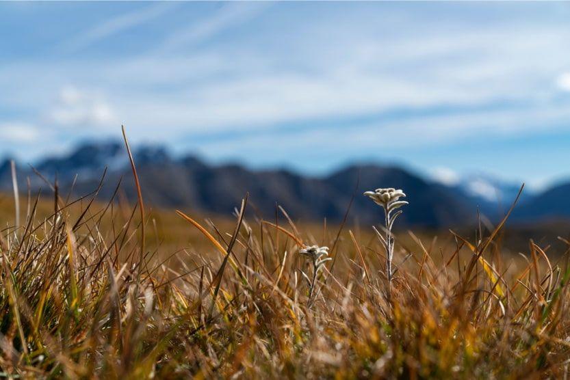 zermatt-guide-edelweiss